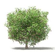 普通无花果树3D模型3.3m 3d model
