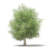 普通无花果树3D模型6.6m 3d model