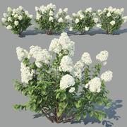 Hydrangea paniculata 4 varianter 3d model