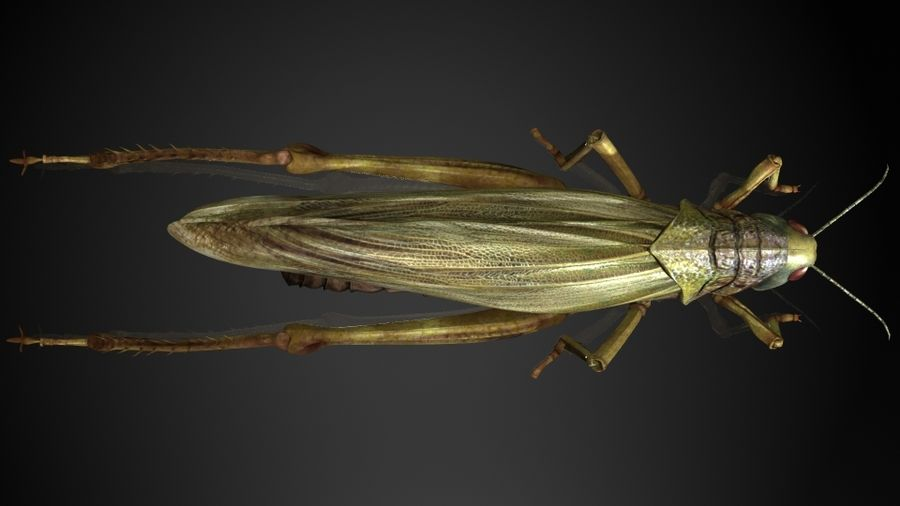 szarańcza / owady royalty-free 3d model - Preview no. 2