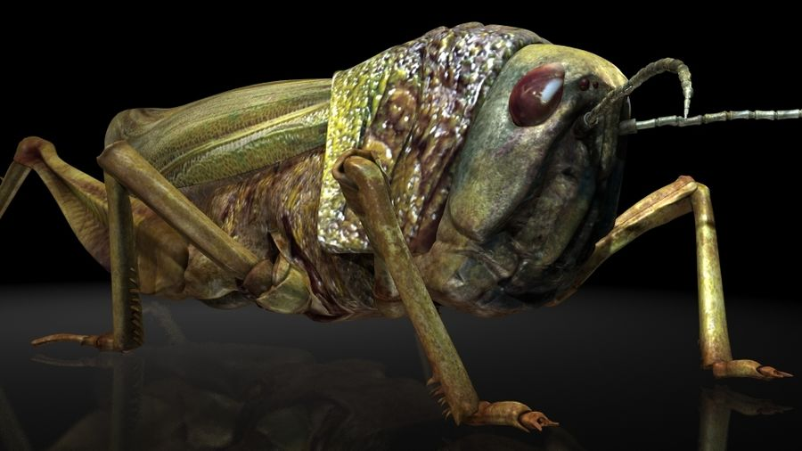 szarańcza / owady royalty-free 3d model - Preview no. 3