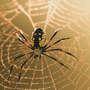 Black and Yellow Garden Spider 3d model