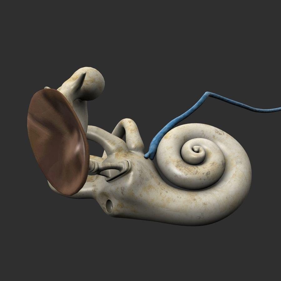 耳の解剖学 royalty-free 3d model - Preview no. 7
