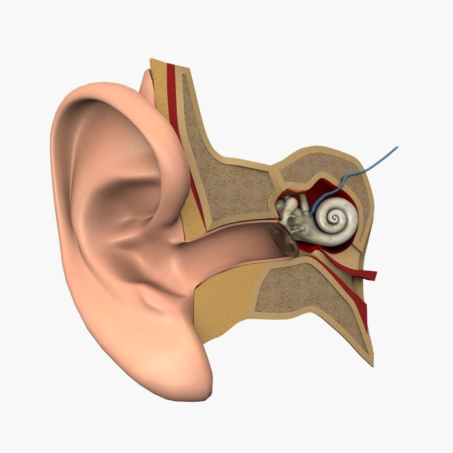 耳の解剖学 royalty-free 3d model - Preview no. 1