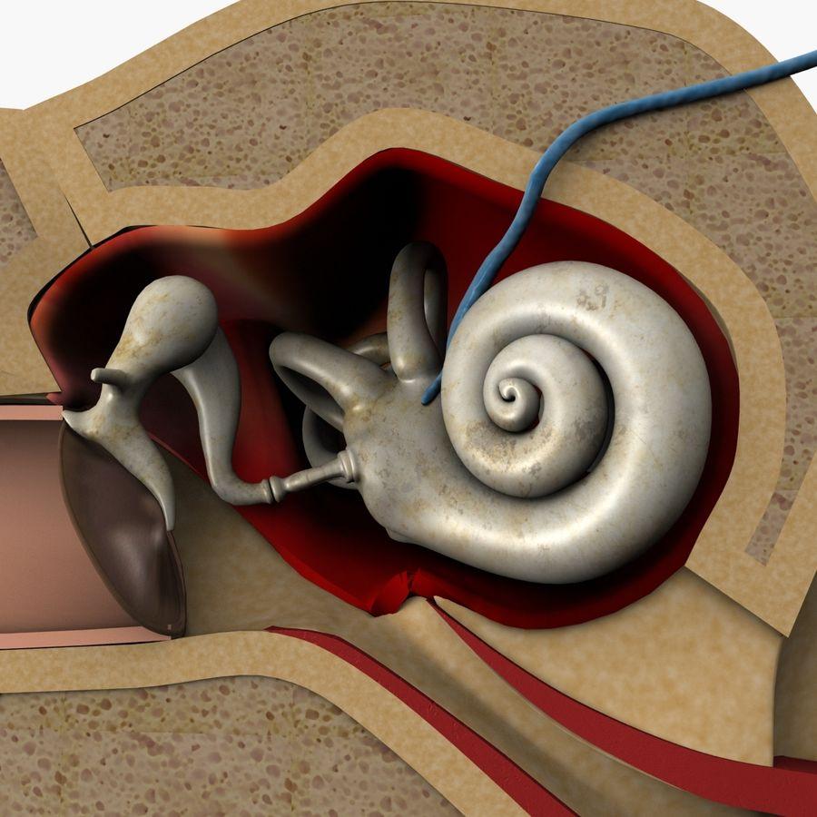 耳の解剖学 royalty-free 3d model - Preview no. 4