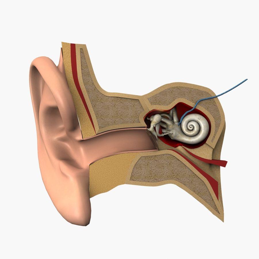 耳の解剖学 royalty-free 3d model - Preview no. 2