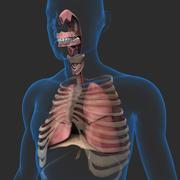 Sistema respiratorio e corpo 3d model
