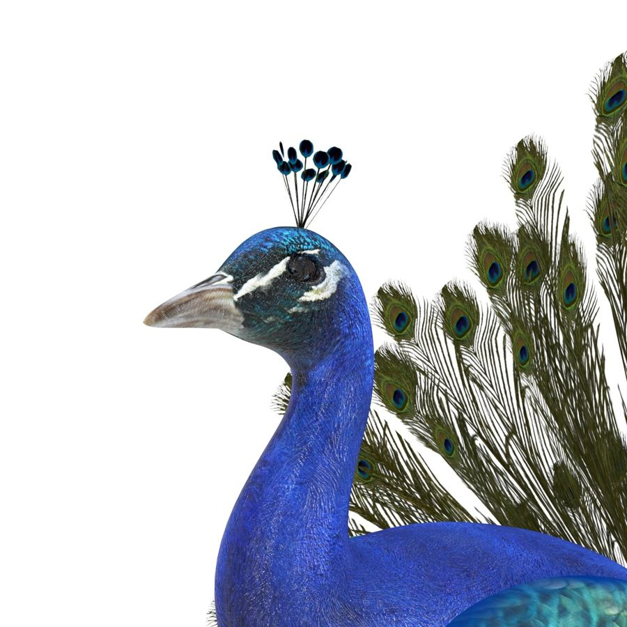 Peacock royalty-free 3d model - Preview no. 5