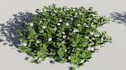 Madagascar periwinkle, Rose periwinkle, Catharanthus roseus 3d model