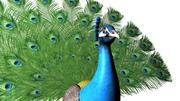 Pavo real modelo 3d