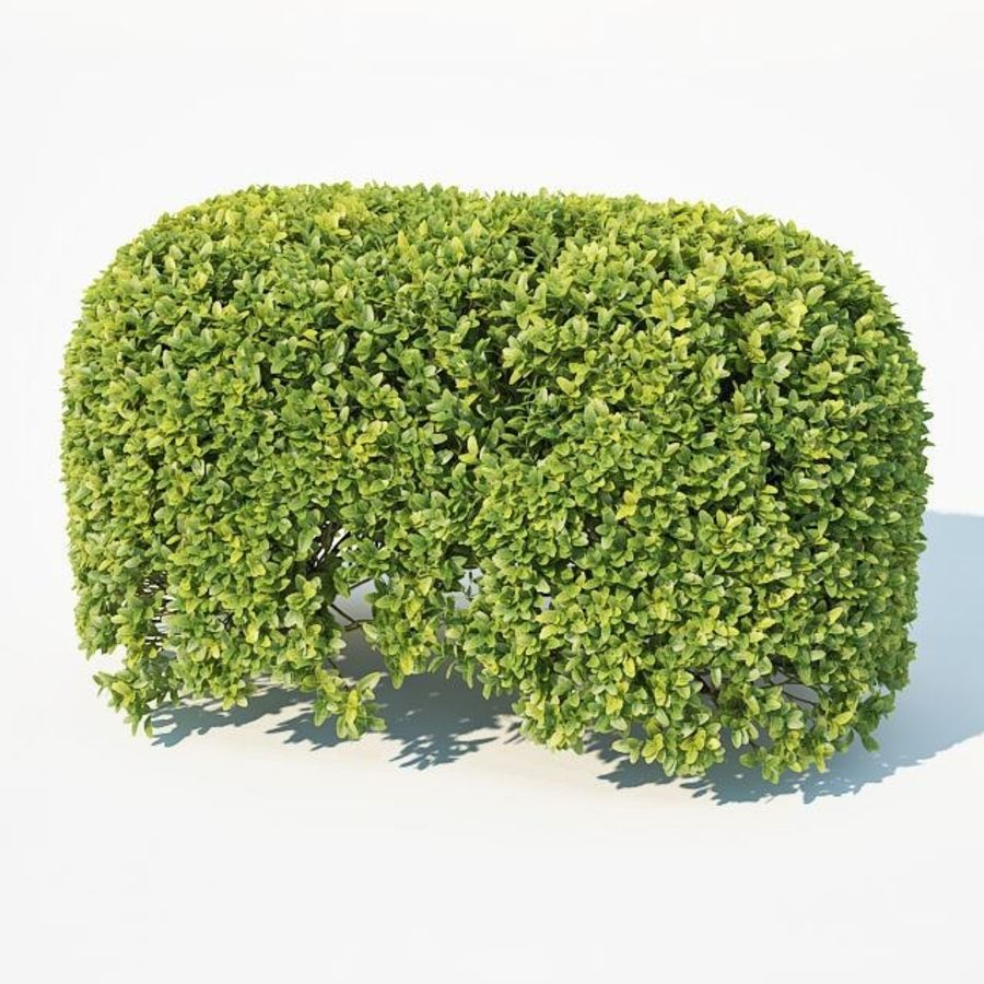 Buxus Sempervirens # 8 sebe oval 50cm royalty-free 3d model - Preview no. 4