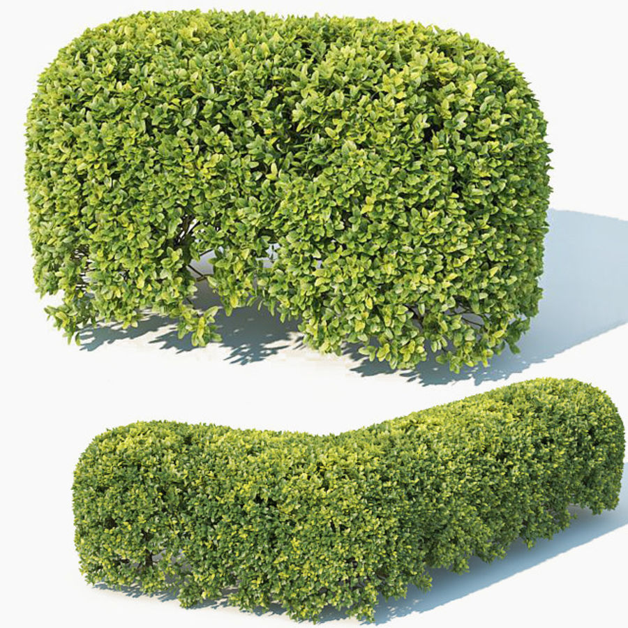 Buxus Sempervirens # 8 sebe oval 50cm royalty-free 3d model - Preview no. 1