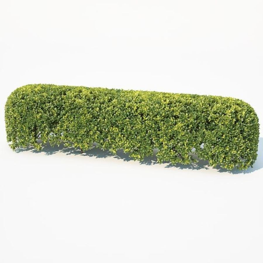 Buxus Sempervirens # 8 sebe oval 50cm royalty-free 3d model - Preview no. 6