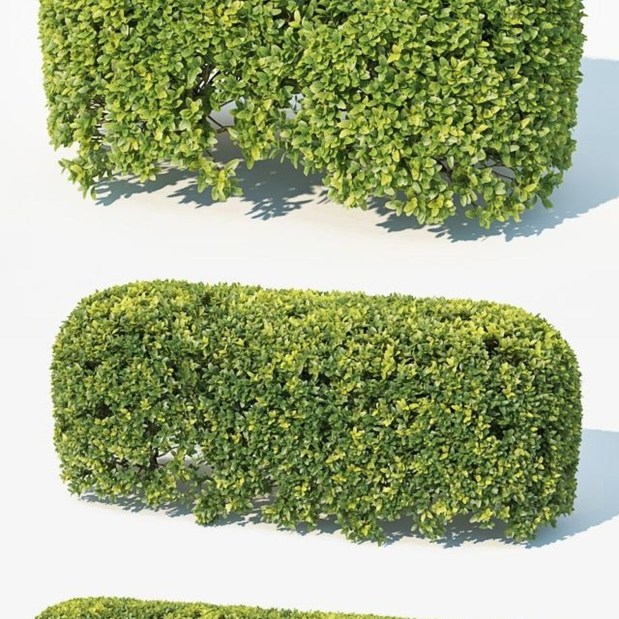 Buxus Sempervirens # 8 sebe oval 50cm royalty-free 3d model - Preview no. 3