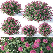 Spirea Japonica # 2. Six sizes 3d model