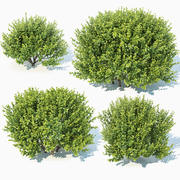 Buxus Sempervirens #11 3d model