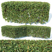 Cotoneaster lucidus # 2 haie de forme carrée personnalisable 3d model