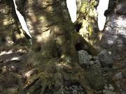 거대한 고대 나무 (1) 3d model