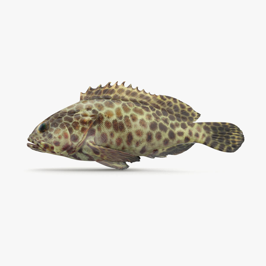 Grouper royalty-free 3d model - Preview no. 1