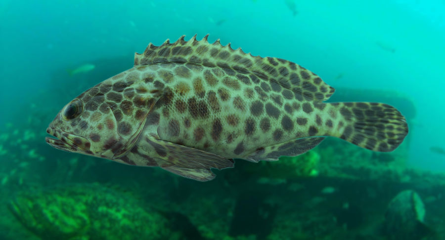 Grouper royalty-free 3d model - Preview no. 3
