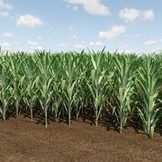 Сахарный тростник 3d model