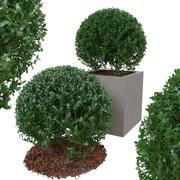 Buxus busken är i form av bollen 3d model