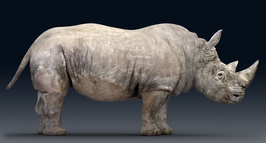 Rhinoceros_Rigged royalty-free modelo 3d - Preview no. 10