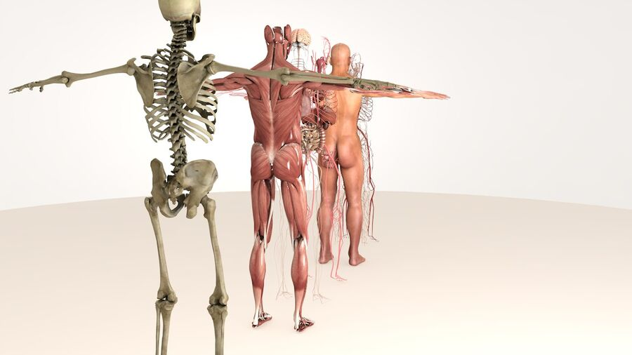 Complete Male Body Anatomy royalty-free 3d model - Preview no. 4