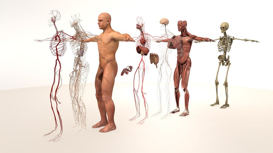 Complete Male Body Anatomy royalty-free 3d model - Preview no. 1