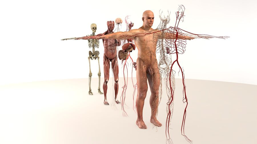 Complete Male Body Anatomy royalty-free 3d model - Preview no. 6