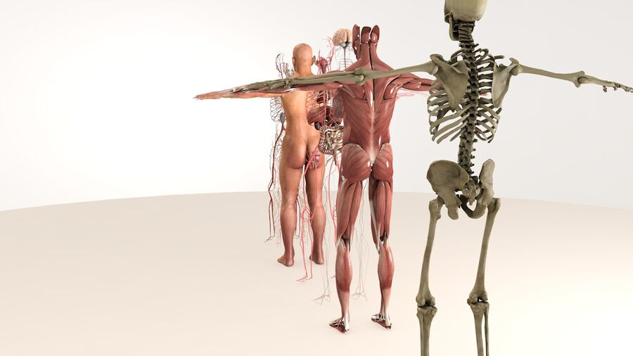 Complete Male Body Anatomy royalty-free 3d model - Preview no. 5