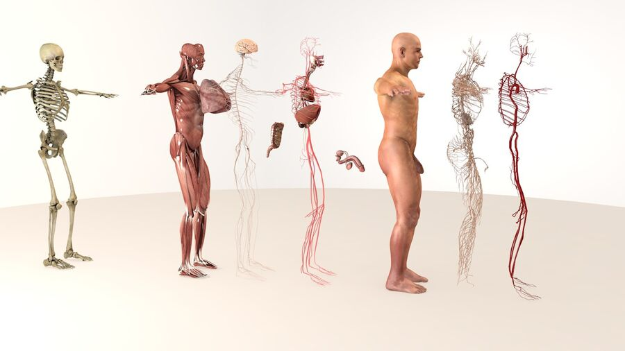 Complete Male Body Anatomy royalty-free 3d model - Preview no. 3