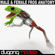 Male & Female Frog Anatomy Textured 3d model