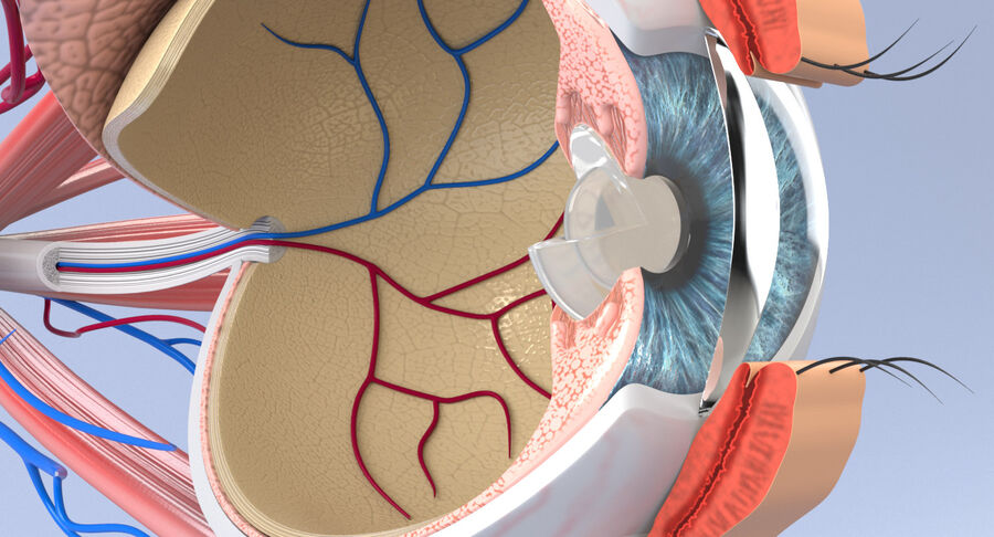 Eye Anatomy Section royalty-free 3d model - Preview no. 6