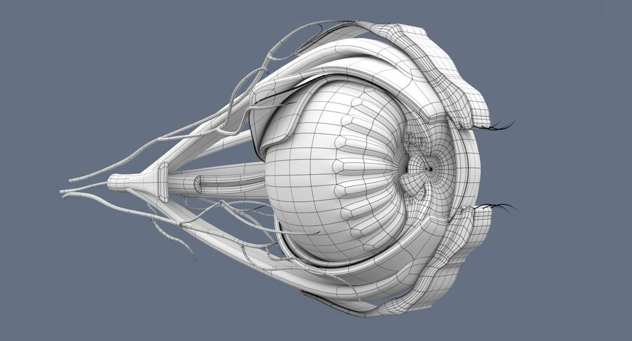 Eye Anatomy Section royalty-free 3d model - Preview no. 10