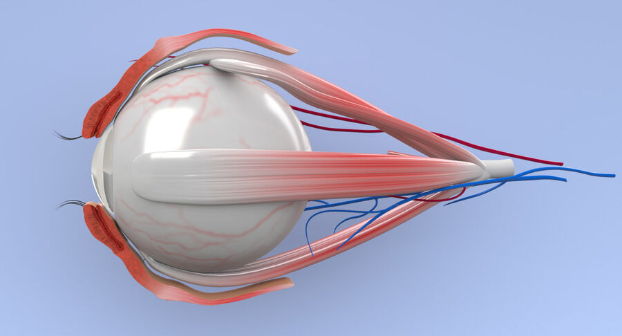 Eye Anatomy Section royalty-free 3d model - Preview no. 9