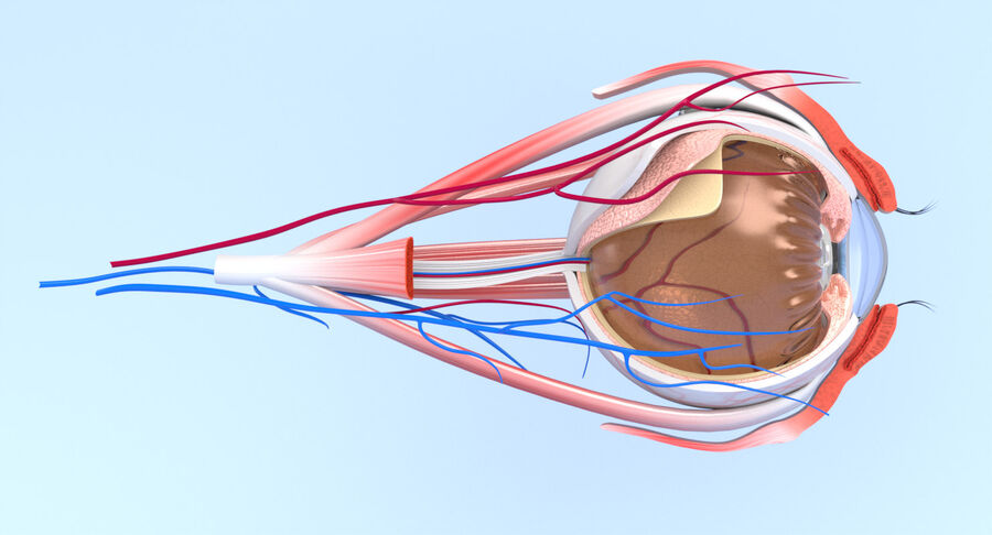 Eye Anatomy Section royalty-free 3d model - Preview no. 8