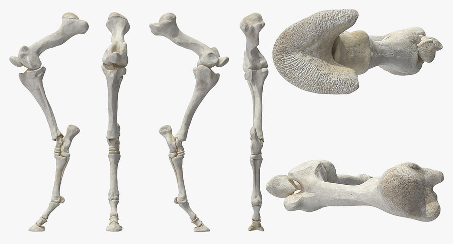 Horse Front Leg 2 3D Model royalty-free 3d model - Preview no. 5