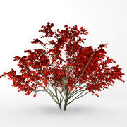 Autumn kousa dogwood 3d model