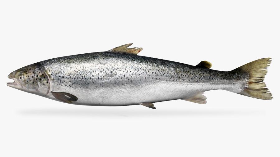 鲑鱼王-Oncorhynchus tshawytscha royalty-free 3d model - Preview no. 1