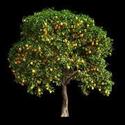 Orange Tree 11 3d model