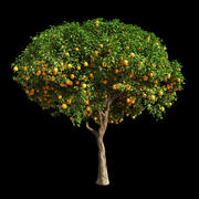 Orange Tree 12 3d model
