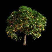 Orange Tree 13 3d model