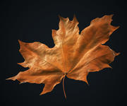 Jesienny liść klonu, High polly, # 1 3d model