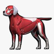 Labrador + squelette + musculature 3d model