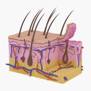 皮肤解剖 3d model