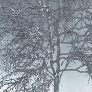 Three Season Trees 12: Birch (+Growfx) 3d model
