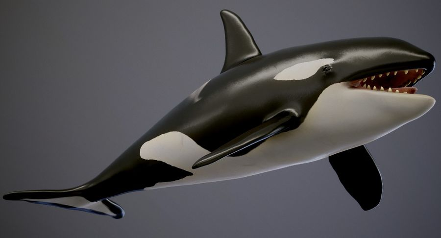 Orca Orca royalty-free modelo 3d - Preview no. 3