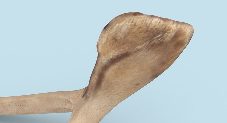Wishbone royalty-free 3d model - Preview no. 9