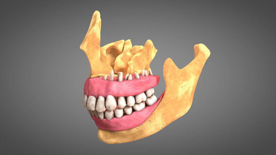 Human Jaws with Gums and Teeth royalty-free 3d model - Preview no. 10